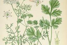 Coriandre / Coriander / Coriandrum sativum. Huile essentielle, hydrolat, aromathérapie
