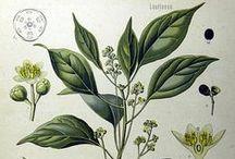 Ravintsara / Camphor / Cinnamum camphora CT camphora. Huile essentielle, hydrolat, aromathérapie.