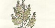 Tea tree / Arbre à thé / Melaleuca alternifolia. Huile essentielle, hydrolat, aromathérapie.