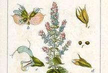 Sauge sclarée / Clary sage / Salvia sclarea. Huile essentielle, hydrolat, aromathérapie