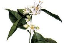 Orange douce / Sweet orange / Citrus sinensis.  Huile essentielle, hydrolat, aromathérapie.