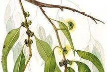 Eucalyptus citronné / Eucalyptus lemon / Eucalyptus citriodora. Huile essentielle, hydrolat. / Soothes inflammation (tendinitis, sciatica, arthritis...), helps fighting athlete's feet, skin mycosis, repells mosquitoes...