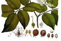 Baume de copaiba ou de copahu / Copaiba balsam / Copaifera officinalis. Huile essentielle, hydrolat