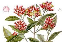 Giroflier / Clove / Syzygium aromaticum / Eugenia Caryophylla. Huile essentielle, hydrolat, aroma.
