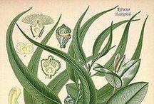 Eucalyptus globulus. Huile essentielle, hydrolat, aromathérapie.