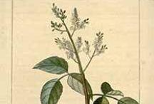 Santal amyris / Amyris balsamifera. Huile essentielle, hydrolat, aromathérapie