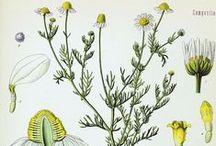 Camomille Allemande / Matricaire / Matricaria recutita.  Huile essentielle, hydrolat, aromathérapie.