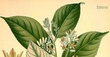 Benjoin du Siam / Siam Benzoin / Styrax tonkinensis. Huile essentielle, hydrolat, aromathérapie.
