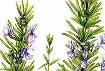 Romarin verbénone / Rosemary verbenone / Rosmarinus CT verbenone. Huile essentielle, hydrolat.