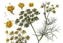 Fenouil / Fennel / Foeniculum vulgare. Huile essentielle, hydrolat, aromathérapie