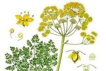 Galbanum ou Férule odorante / Ferula gummosa. Huile essentielle, hydrolat, aromathérapie.