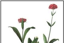 Nard de l'Himalaya / Spikenard / Nardostachys jatamansi.  Huile essentielle, hydrolat. / Used in religious rituals. Traditionally used against psoriasis. Relaxing and grounding. Links chakras. Used to prepare to difficulties. Many special components like nardostachone, valeranone, nardol and jatamanshinic acid.