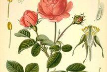 Rose de Damas / Rose Otto / Rosa damascena. Huile essentielle, hydrolat, aromathérapie.