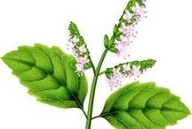 Patchouli / Pogostemon cablin. Huile essentielle, hydrolat, aromathérapie.