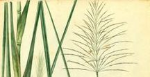 Vetiver / Vetiveria zizanoides. Huile essentielle, hydrolat, aromathérapie.