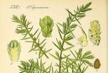 Genévrier / Juniper / Juniperus communis. Huile essentielle, hydrolat, aromathérapie.