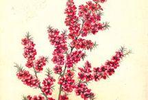 Manuka / Leptospermum scoparium. Huile essentielle, hydrolat, aromathérapie.