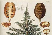 Cèdre de l'Atlas / Cedarwood (Atlas) / Cedrus Atlantica. Huile essentielle, hydrolat, aromathérapie