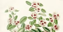 Fragonia / Agonis fragrans
