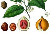 Muscade ou Muscadier / Nutmeg / Myristica Fragrans. Huile essentielle, hydrolat, aromathérapie.