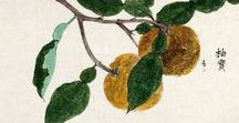 Yuzu / Citrus ichangensis / C. reticulata / C. junos.  Huile essentielle, hydrolat, aromathérapie.