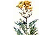 Tanaisie annuelle / Blue Tansy / Tanacetum Annuum. Huile essentielle, hydrolat, aromathérapie