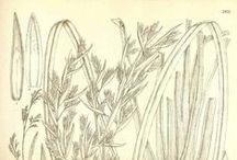 Lemongrass / Cymbopogon flexuosus / Cymbopogon citratus. Huile essentielle, hydrolat, aromathérapie.