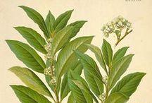 Laurier Noble / Sweet Bay / Bay Laurel / Laurus Nobilis. Huile essentielle, hydrolat, aromathérapie.