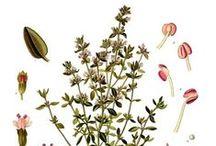 Thym Thymol ou rouge / Thyme Thymol / Thymus Vulgaris Thymoliferum.  Huile essentielle, hydrolat.
