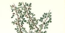 Opoponax / Sweet myrrh / Commiphora Erythraea. Huile essentielle, hydrolat, aromathérapie.