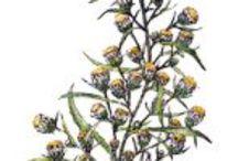 Inule odorante / Inula Graveolens. Huile essentielle, hydrolat, aromathérapie.
