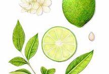 Citron Vert / Lime / Citrus aurantifolia. Huile essentielle, hydrolat, aromathérapie.