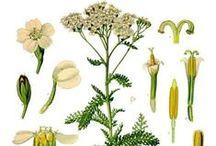 Achillée Millefeuille / Yarrow / Achillea Millefolium. Huile essentielle, hydrolat, aromathérapie.