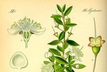 Myrte vert ou à Cinéole / Myrtle (green) / Myrtus Communis Cineoliferum. Huile essentielle.