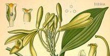 Vanille / Vanilla planifolia. Huile essentielle, absolue, aromathérapie