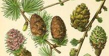 Mélèze / Larch / Larix decidua. Huile essentielle, hydrolat, aromathérapie.