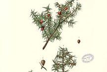 Cade / Juniperus oxycedrus. Huile essentielle, hydrolat, aromathérapie.