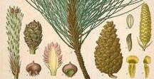 Pin lariccio / pinus nigra / pinus laricio ou nigra var. corsicana. Huile essentielle, hydrolat, aromathérapie.
