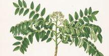 Curry feuilles ou caloupilé / Curry leaf / murrakaya ou murraya koenigii. Huile essentielle, hydrolat, aromathérapie.