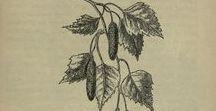 Bouleau noir / Birch / Betula nigra. Huile essentielle, hydrolat, aromathérapie