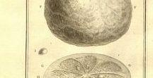 Orange amère ou bigaradier zeste / Bitter orange / Citrus aurantium ssp. aurantium. Huile essentielle, hydrolat, aromathérapie.