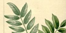 Clavalier de l'Inde / Zanthoxylum rhetsa. Huile essentielle, hydrolat, aromathérapie.
