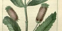 Lavande stoechade ou stoechas ou papillon / Lavandula stoechas. Huile essentielle, hydrolat, aromathérapie.