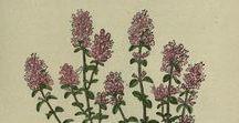 Serpolet ou thym serpolet / Wild thyme / Thymus serpyllum. Huile essentielle, hydrolat, aromathérapie.