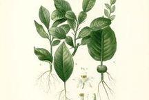 Petit grain combawa / Citrus hystrix. Huile essentielle, hydrolat, aromathérapie.