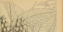 Champaca / Michelia alba ou M. champaca. Huile essentielle, hydrolat, aromathérapie
