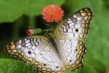 BuTTeRfLy  )i(