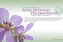 Rose-Scented Pelargonium / February Herb of the Month / by Herb Society of America