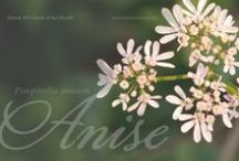 Anise / by Herb Society of America