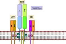 7-Immunology: TcR (T-cell Receptor) / by Alfredo Corell